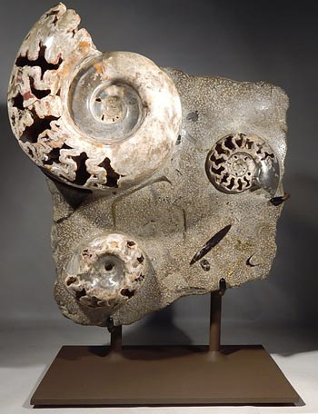 Ammonite Fossil Cluster Custom Display Stand. (Front)
