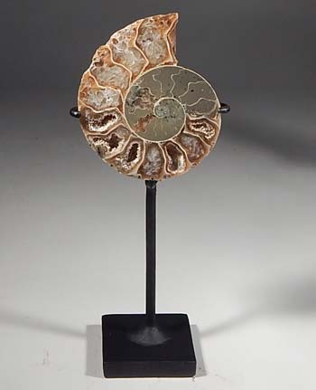 Agatized Ammonite Fossil Cleoniceras Cretaceous Madagascar