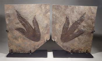 Coelophysis dinosaur footprints Custom Display Stand (front).