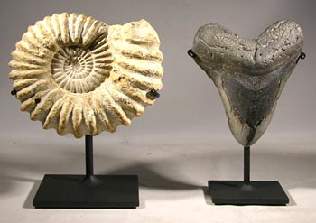 Ammonite and Megalodon Shark Tooth Custom Display Stands - Front