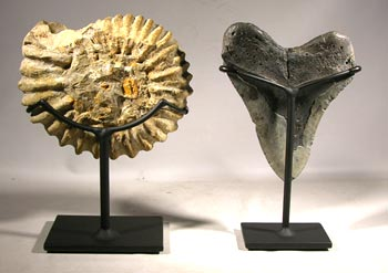 Ammonite and Megalodon Shark Tooth Custom Display Stands - Back