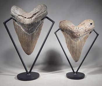 Extra Large Megalodon Shark Teeth Tooth Custom Display Stands (front).