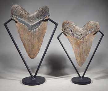Extra Large Megalodon Shark Teeth Tooth Custom Display Stands (back).