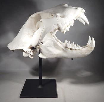 Cast Resin Lion Skull Custom Display Stand.