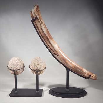 Small Mammoth Tusk and a Petrified (fossilized) Pine Cone Split Pair Custom Display Stands(back).