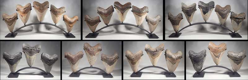 Megalodon Shark Teeth Custom Group Display Stands.