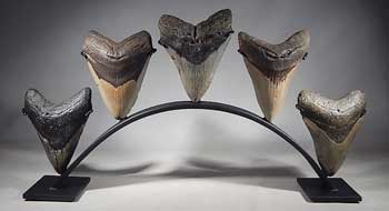 Megalodon Shark Teeth Tooth Custom Group Display Stand (front).