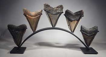 Megalodon Shark Teeth Tooth Custom Group Display Stand (back).