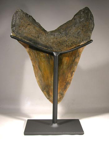 Giant Megalodon Shark Tooth Custom Display Stand - Back