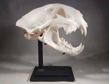 Mountain Lion Skull Custom Display Stand (front).