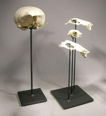 Sea Lion and Sea Bird Skulls Custom Display Stand