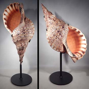Triton Trumpet Atlantic Sea Shell Charonia Variegata Custom Display Stands (front).