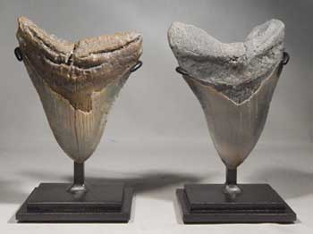 Megalodon Shark Teeth Upgraded Custom Display Stands (front)