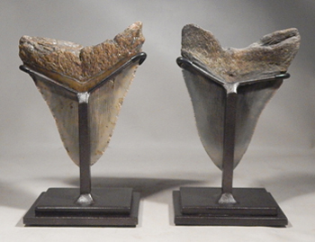 Megalodon Shark Teeth Upgraded Custom Display Stands (back)