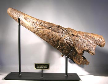 Triceratops Brow Horn Dinosaur Fossil Custom Display Stand #2
