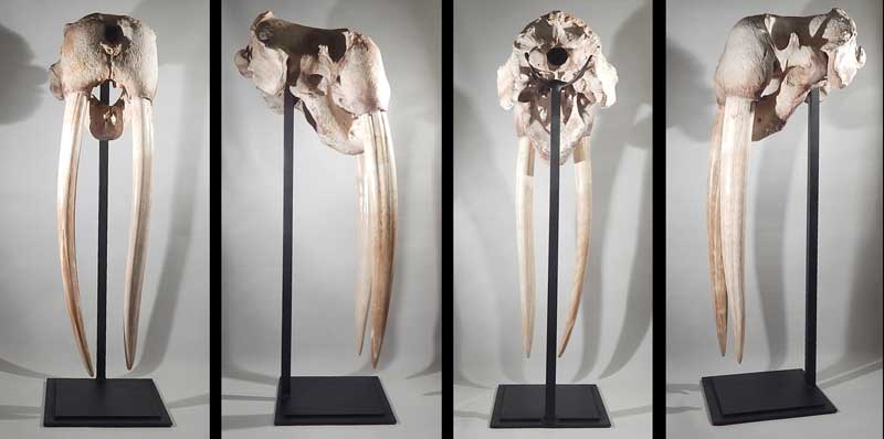 Walrus Skull with Tusks Display Stand.